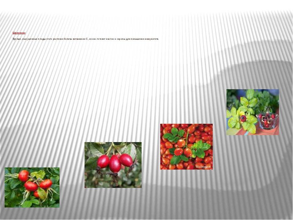 Шиповник Зрелые, высушенные плоды этого растения богаты витамином С, из них...