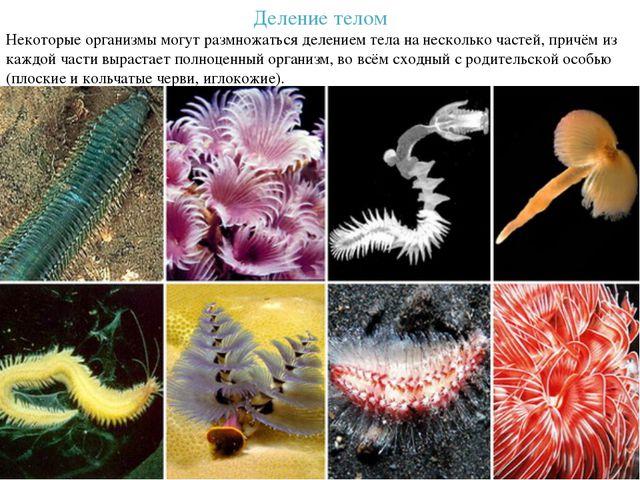 Деление телом Некоторые организмы могут размножаться делением тела на несколь...