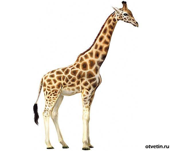 http://otvetin.ru/uploads/posts/2010-04/1270664662_giraffe1.jpg
