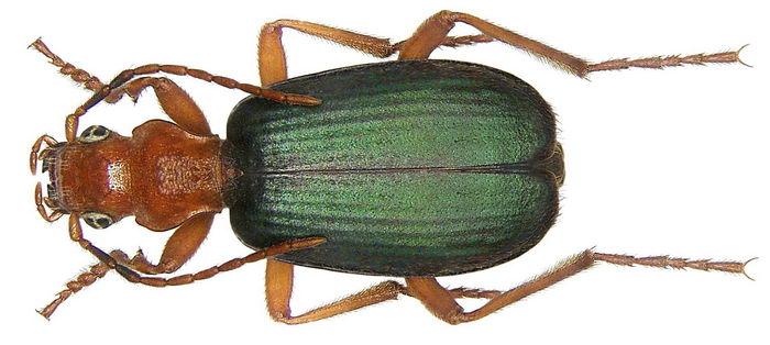 http://natureworld.ru/misc/insecta/bombardier_beetle/bombardier_beetle_02.jpg