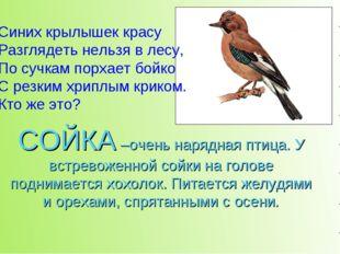 СОЙКА –очень нарядная птица. У встревоженной сойки на голове поднимается хохо