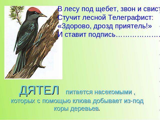 ДЯТЕЛ питается насекомыми , которых с помощью клюва добывает из-под коры дере...