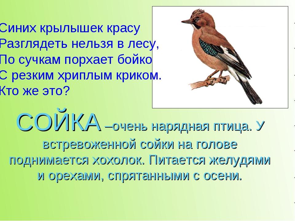 СОЙКА –очень нарядная птица. У встревоженной сойки на голове поднимается хохо...
