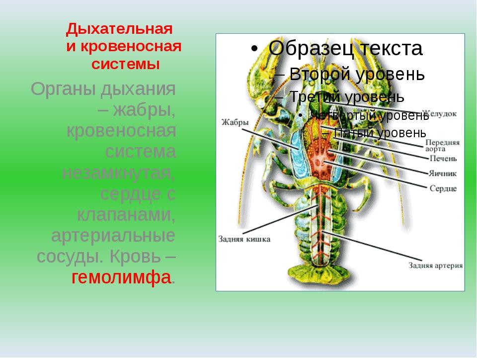 Дыхательная и кровеносная системы Органы дыхания – жабры, кровеносная система...