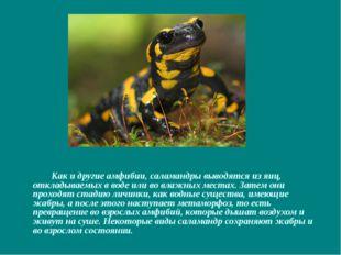 Как и другие амфибии, саламандры выводятся из яиц, откладываемых в воде или
