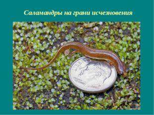 Саламандры на грани исчезновения