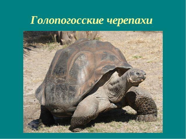 Голопогосские черепахи