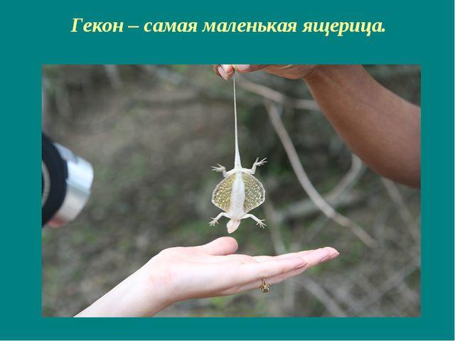 Гекон – самая маленькая ящерица.