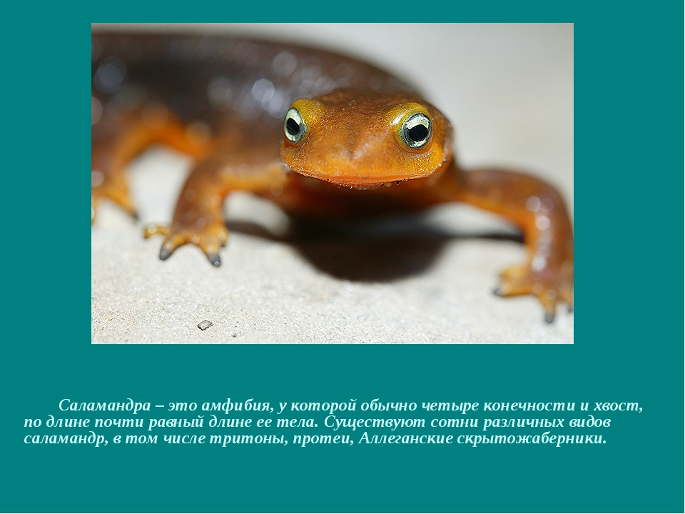 Саламандра – это амфибия, у которой обычно четыре конечности и хвост, по дли...
