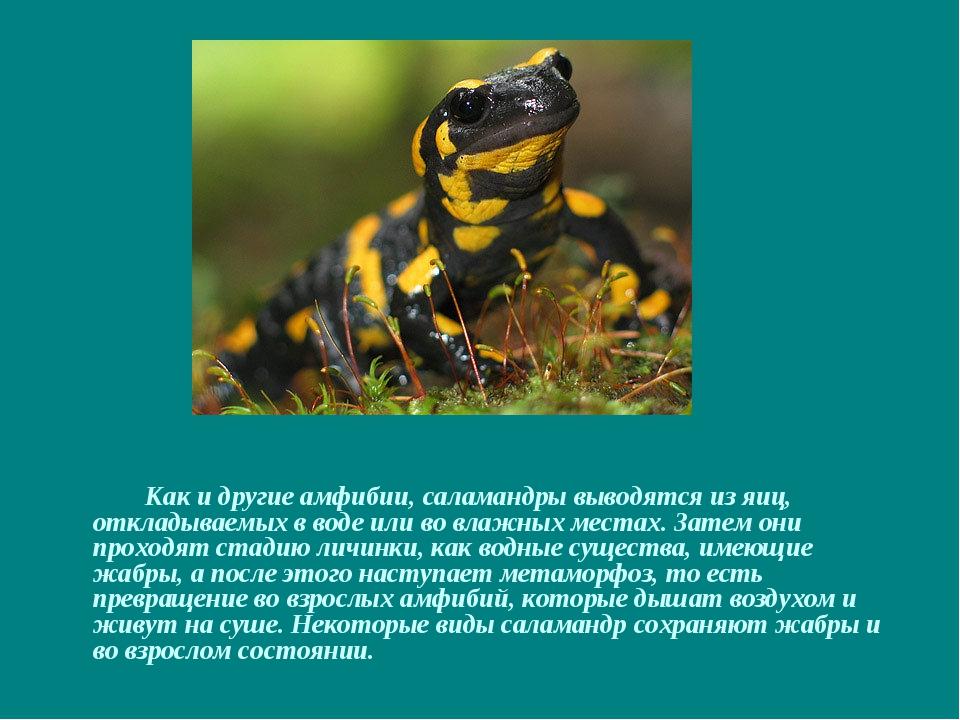 Как и другие амфибии, саламандры выводятся из яиц, откладываемых в воде или...