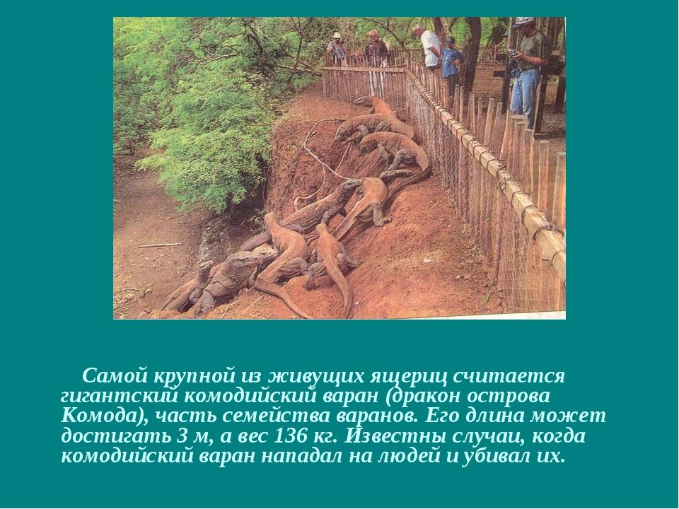 Самой крупной из живущих ящериц считается гигантский комодийский варан (драк...