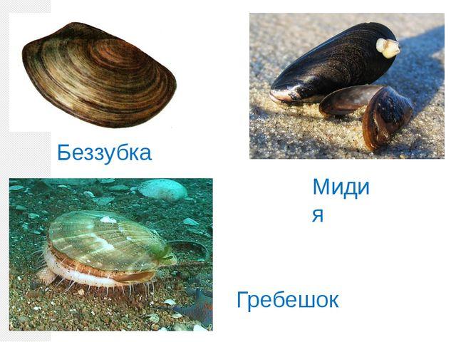Беззубка Мидия Гребешок
