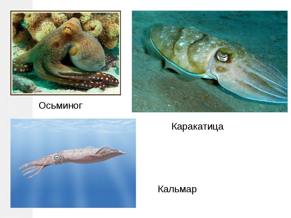 Каракатица Осьминог Кальмар