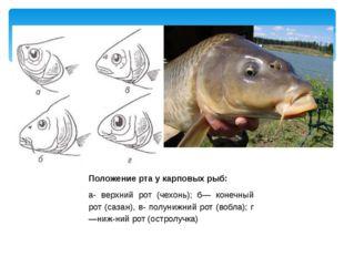 Положение рта у карповых рыб: а- верхний рот (чехонь); б— конечный рот (сазан