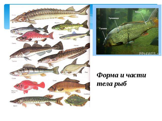 Форма и части тела рыб