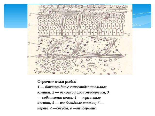 Строение кожи рыбы: 1 — бокаловидные слизеотделительные клетки, 2 — основной...