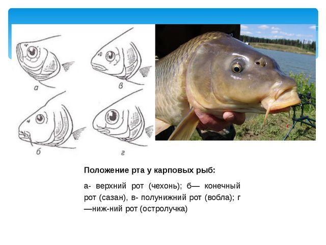 Положение рта у карповых рыб: а- верхний рот (чехонь); б— конечный рот (сазан...