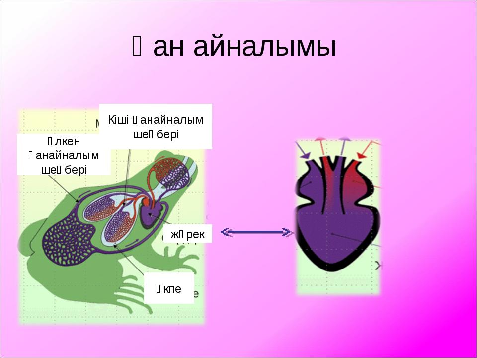 Қан айналымы өкпе жүрек Кіші қанайналым шеңбері Үлкен қанайналым шеңбері