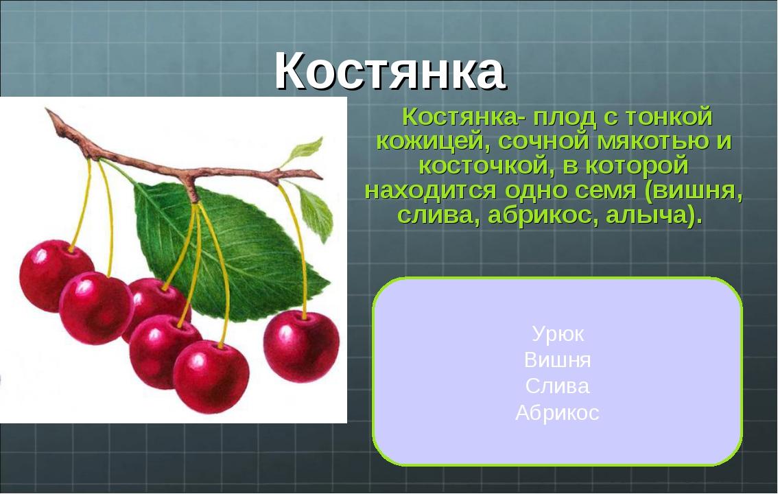 Костянка Костянка- плод с тонкой кожицей, сочной мякотью и косточкой, в котор...