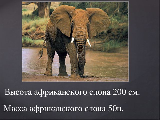 Высота африканского слона 200 см. Масса африканского слона 50ц.