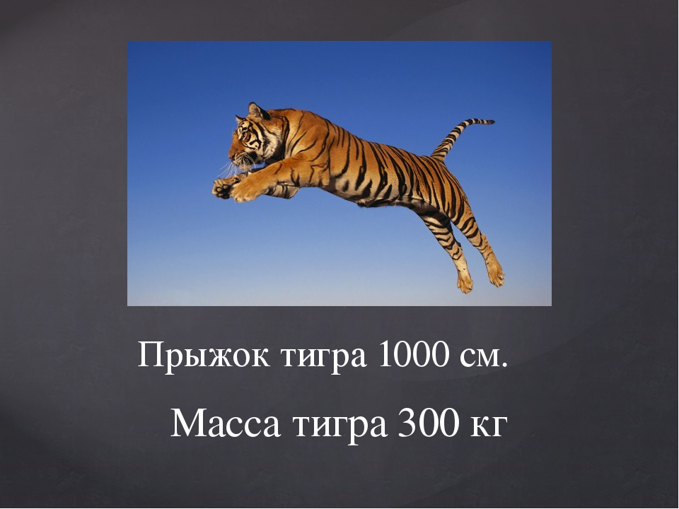 Прыжок тигра 1000 см. Масса тигра 300 кг