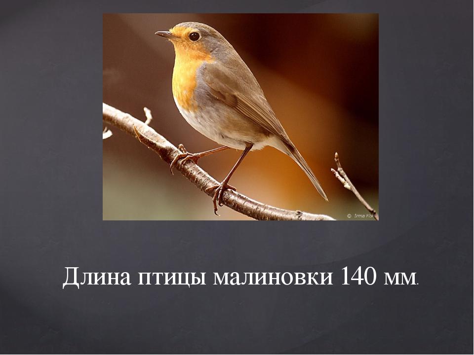 Длина птицы малиновки 140 мм.