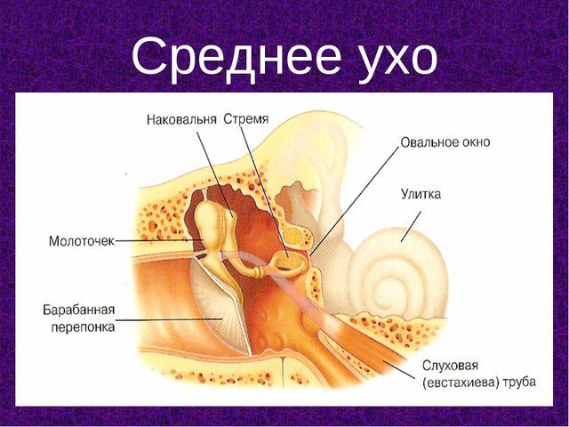 Среднее ухо