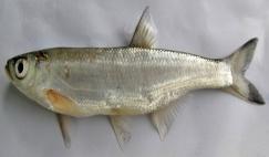 http://www.briancoad.com/species%20accounts/Alburnus%20chalcoides%201KAbbasi.jpg