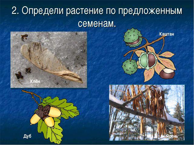 2. Определи растение по предложенным семенам. Клён Каштан Дуб Ясень