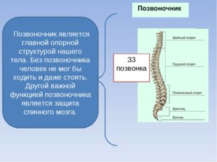 Позвоночник является главной опорной структурой нашего тела. Без позвоночник