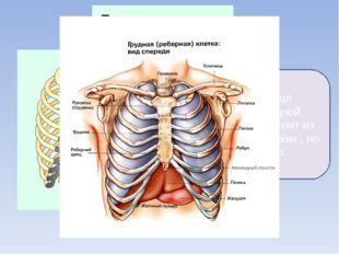 Лёгкие и сердце окружены грудной клеткой. Она состоит из 12 пар очень крепких