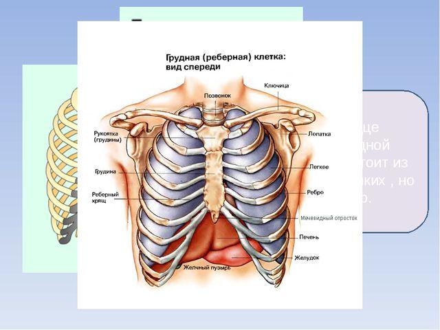 Лёгкие и сердце окружены грудной клеткой. Она состоит из 12 пар очень крепких...