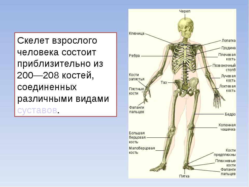 Скелет взрослого человека состоит приблизительно из 200—208 костей, соединенн...
