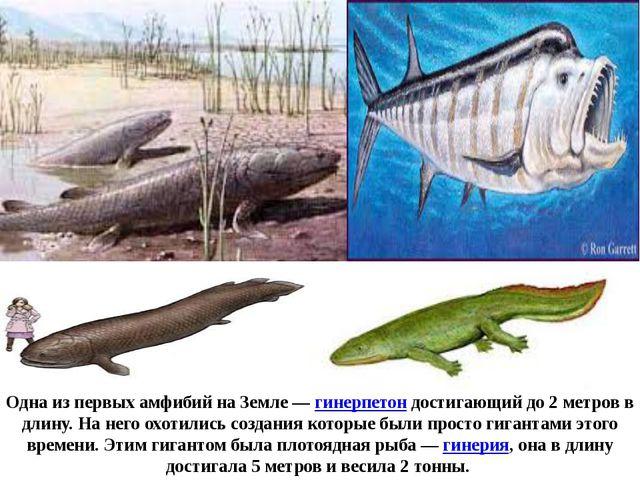 Одна из первых амфибий на Земле—гинерпетон достигающий до 2 метров в длину....