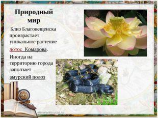 Природный мир Близ Благовещенска произрастает уникальное растение лотос Ком