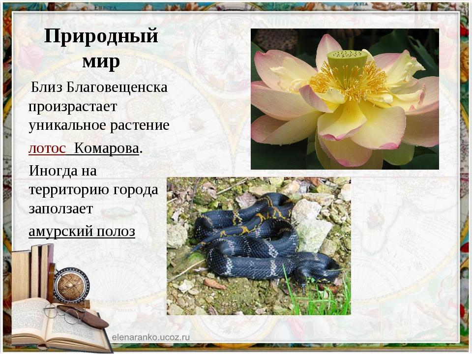 Природный мир Близ Благовещенска произрастает уникальное растение лотос Ком...