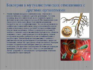 Бактерии в мутуалистических отношениях с другими организмами Многие бактерии