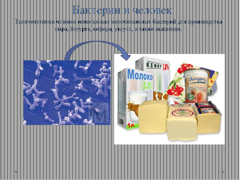 Бактерии и человек Тысячелетиями человек использовал молочнокислых бактерий д...