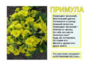 Первоцвет весенний, Желтенький цветок. Потянулся к солнцу Нежный лепесток. Пе