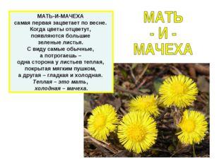 МАТЬ-И-МАЧЕХА самая первая зацветает по весне. Когда цветы отцветут, появляют
