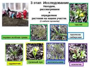 3 этап Исследование Находим, рассматриваем и определяем растения на нашем уч