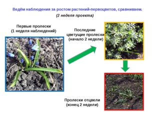 (2 неделя проекта) Ведём наблюдения за ростом растений-первоцветов, сравнива