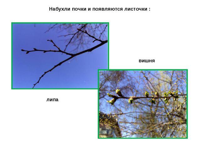 Набухли почки и появляются листочки : липа вишня