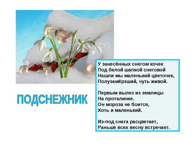 У занесённых снегом кочек Под белой шапкой снеговой Нашли мы маленький цветоч...