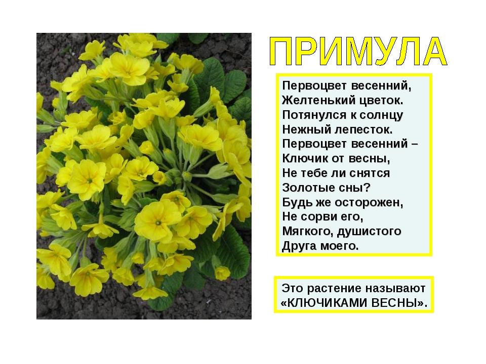 Первоцвет весенний, Желтенький цветок. Потянулся к солнцу Нежный лепесток. Пе...