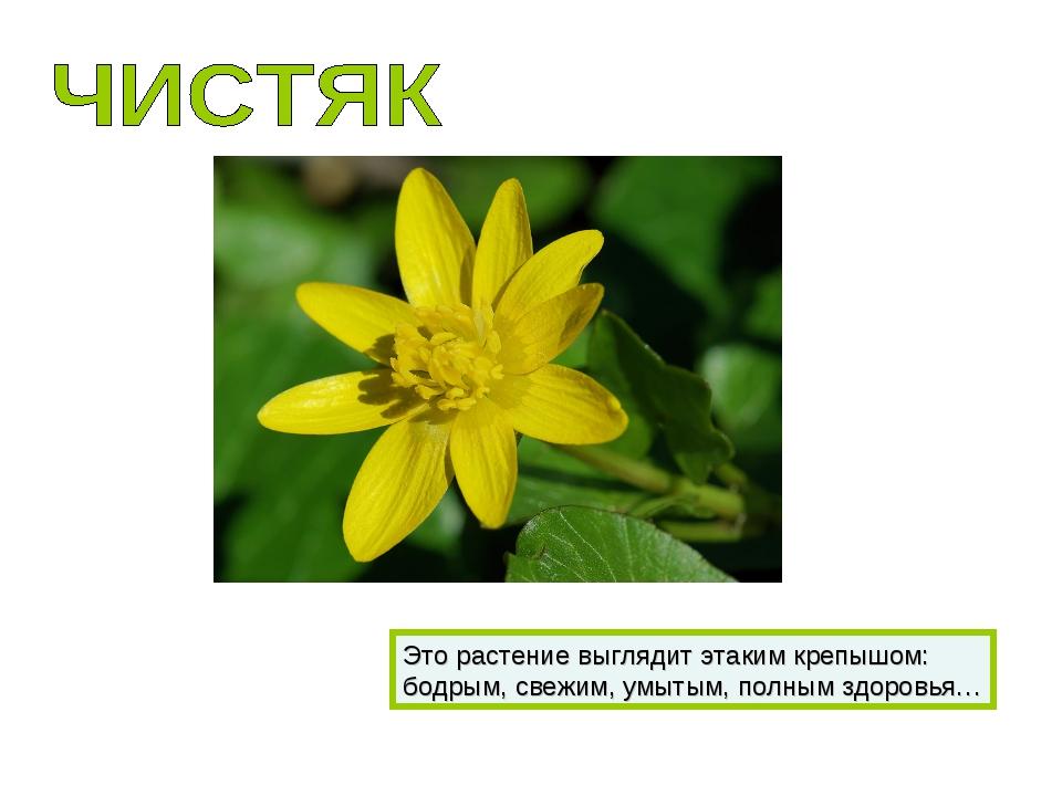 Это растение выглядит этаким крепышом: бодрым, свежим, умытым, полным здоровья…