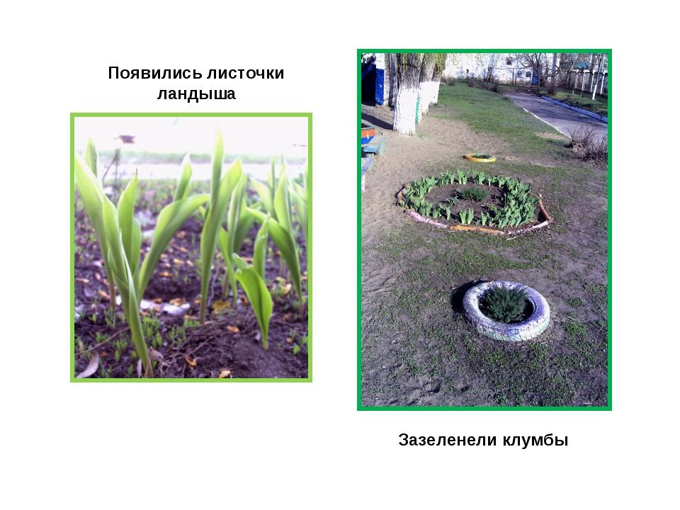 Появились листочки ландыша Зазеленели клумбы