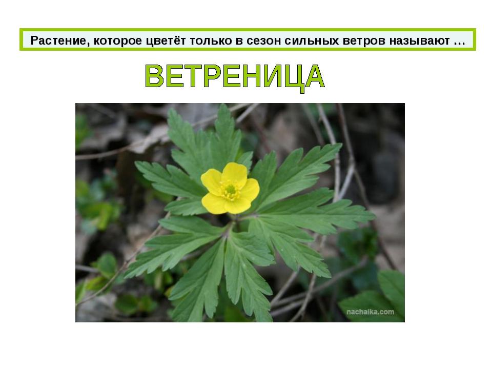 Растение, которое цветёт только в сезон сильных ветров называют …