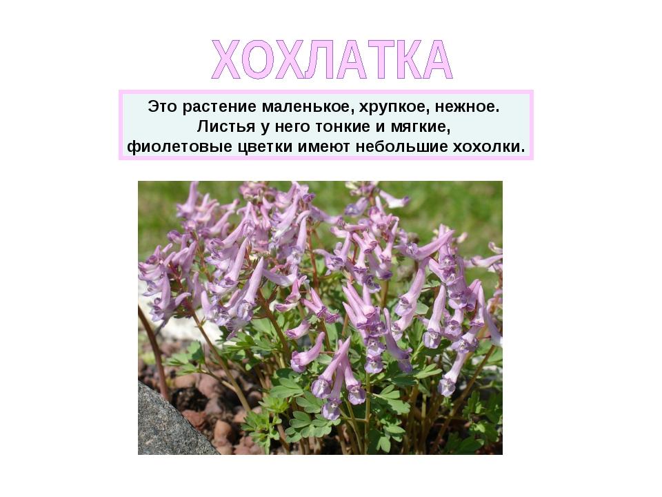 Это растение маленькое, хрупкое, нежное. Листья у него тонкие и мягкие, фиоле...