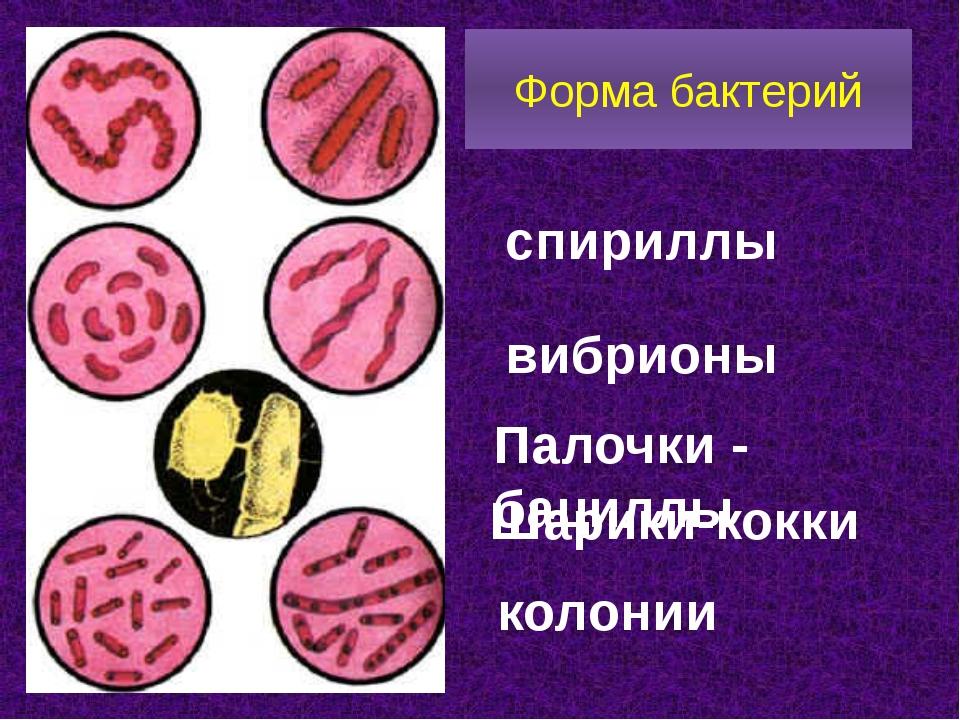 Форма бактерий спириллы Палочки - бациллы Шарики-кокки вибрионы колонии